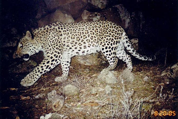 leopard_armenia1_335856
