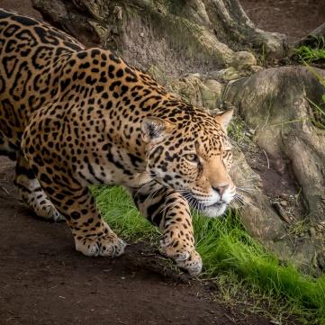 goodfon.ru_Jaguar_American Panther_Panther onca