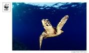 Hawksbill turtle (Eretmochelys imbricata), New Britain, Papua New Guinea (Source: http://www.flickr.com/photos/wwfint/7513521862/)
