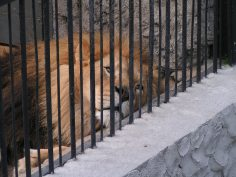 MINOLTA DIGITAL CAMERA - Sad Lion (Photo source: http://blog.petaasiapacific.com/animals-in-entertainment/zoos-are-not-conservationists)