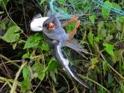 Amur Falcon Massacre 01
