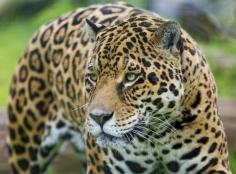 Jaguar 01