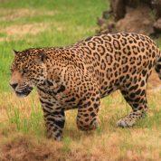 Jaguar 04