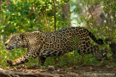 Jaguar stalking. Photo by Steve Winter - Panthera