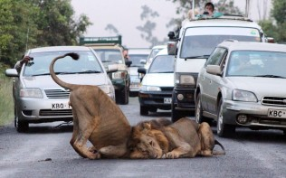 lions on the road