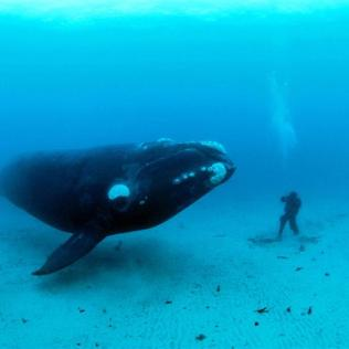 this_photograph_of_a_curious_southern_right_whale__2098260697