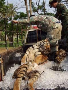 planete-tigre