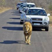 the lion on the road