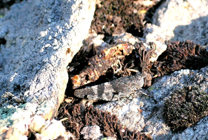Grasshopper well camouflaged
