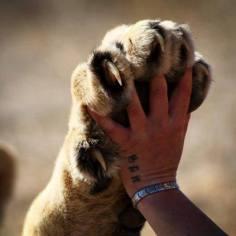 World Lion Day 2014 image