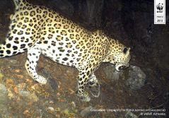 Copyright WWF-Armenia. Caucasian leopard. IMG 02