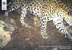 Copyright WWF-Armenia. Caucasian leopard. IMG 03