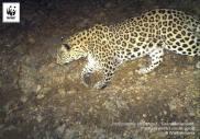 Copyright WWF-Armenia. Caucasian leopard. IMG 04
