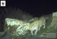 Copyright WWF-Armenia. Caucasian leopard. IMG 05