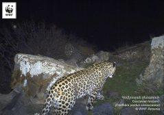 Copyright WWF-Armenia. Caucasian leopard. IMG 06