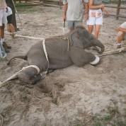 cruelty-on-baby-elephant-6[1]