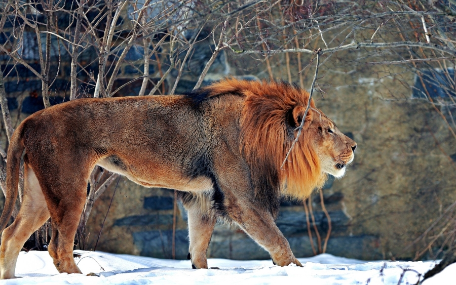 Male Lion in Winter_goodfon.ru