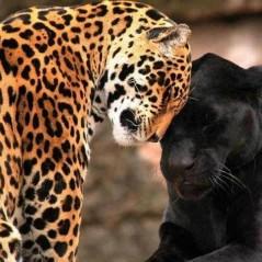 Jaguars love