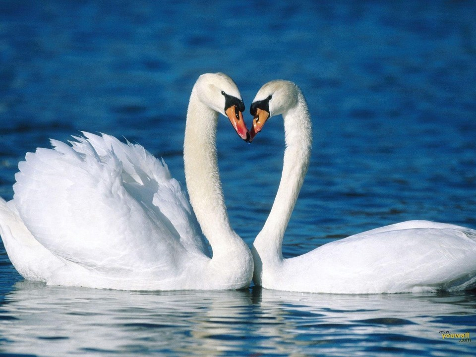 Swans love