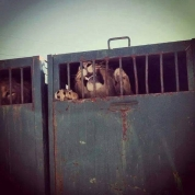 lion canned hunting