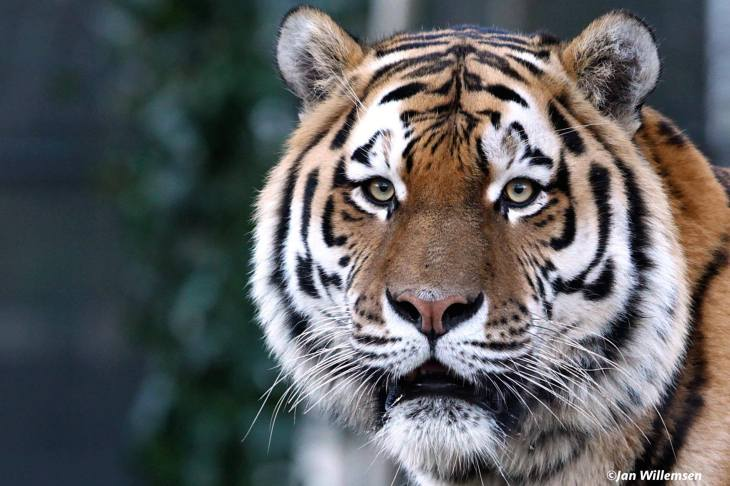 Tiger Day 2015