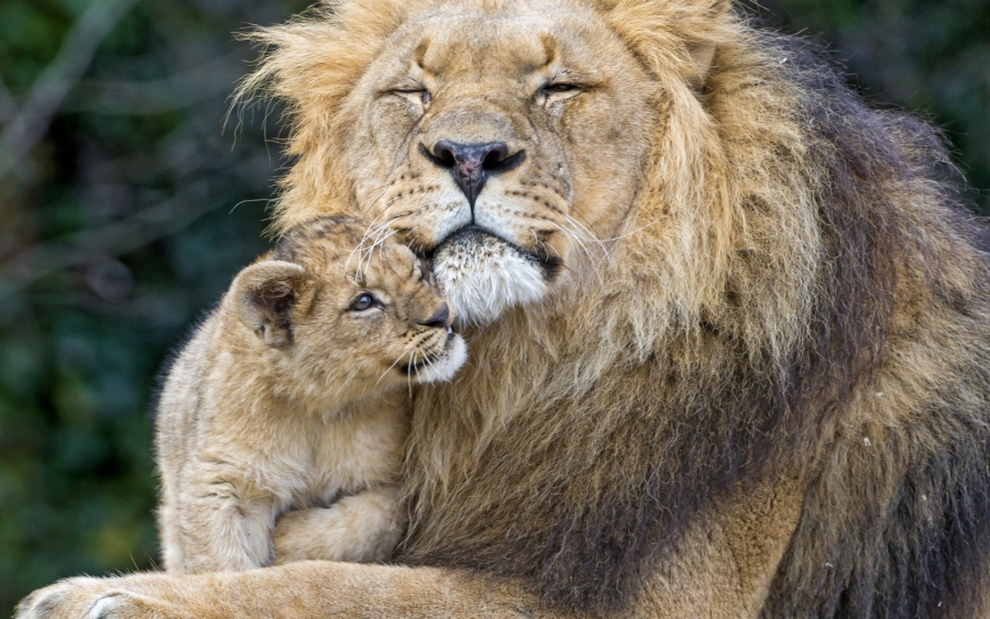 goodfon.ru-male lion and cub 01
