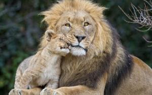 goodfon.ru-male lion and cub 02