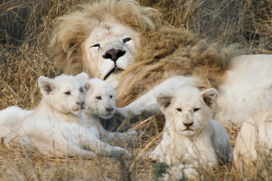 goodfon.ru-male lion and cubs