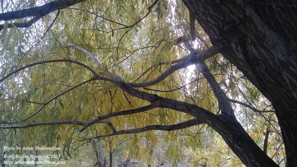 Autumn Willow - photo 01