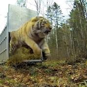 Tiger Freedom