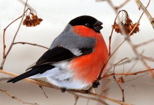 bullfinch-bird