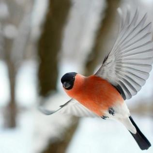 bullfinch-image