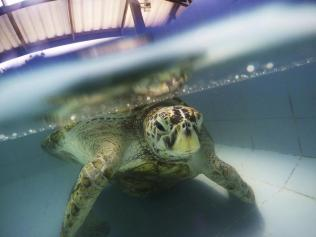 APphoto_Thailand-Turtle-Trouble-01b