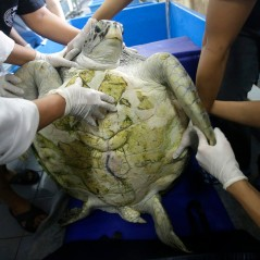 "25-year-old green sea turtle ""Bank"" prepare clean surgical scar at Chulalongkorn University in Bangkok, Thailand, Friday, March 10, 2017. Veterinarians operated on Bank Monday to remove 915 coins weighing 5 kilograms (11 pounds) from her stomach, which she swallowed after misguided human passers-by tossed coin into her pool for good luck in eastern Thailand. (AP Photo/Sakchai Lalit)"