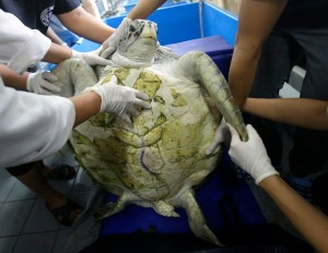 """25-year-old green sea turtle """"Bank"""" prepare clean surgical scar at Chulalongkorn University in Bangkok, Thailand, Friday, March 10, 2017. Veterinarians operated on Bank Monday to remove 915 coins weighing 5 kilograms (11 pounds) from her stomach, which she swallowed after misguided human passers-by tossed coin into her pool for good luck in eastern Thailand. (AP Photo/Sakchai Lalit)"""