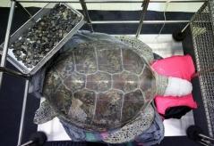 APphoto_Thailand-Turtle-Trouble-08b