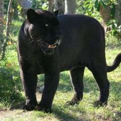 Panthera onca - Black Jaguar or Black Panther