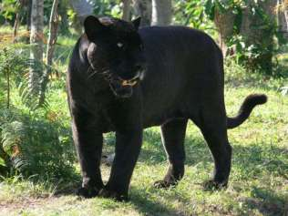 Panthera onca - Black Jaguar or Black Panther
