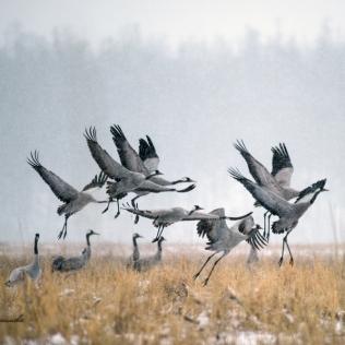 Brown cranes