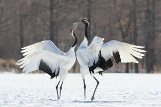 Japan cranes photo image