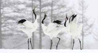 Japan Cranes